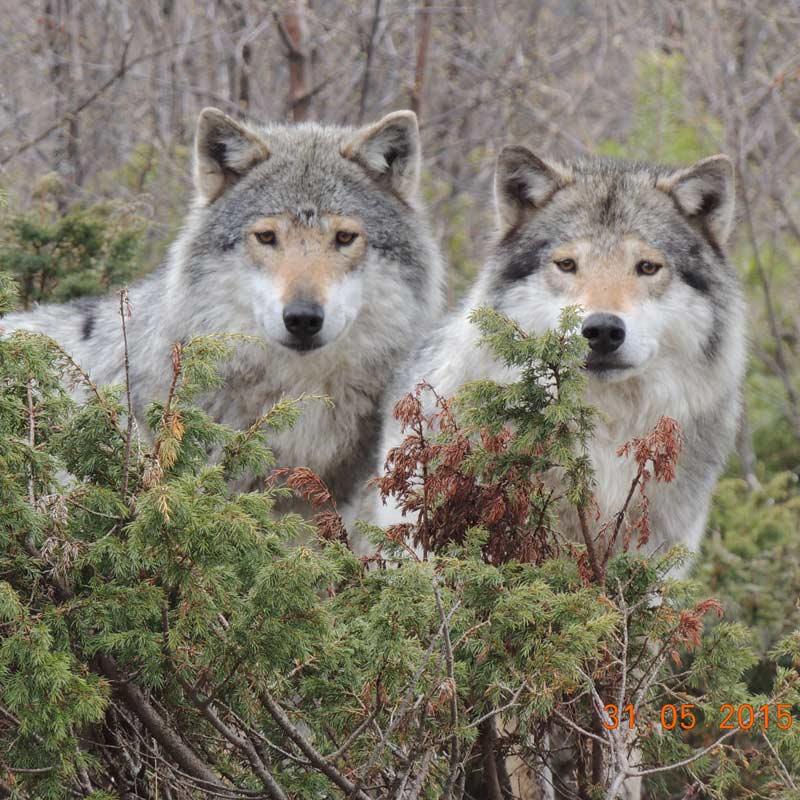 Bilde av ulver i Langedrag Naturpark.