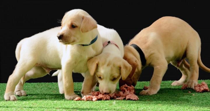 Tre valper spiser hundemat